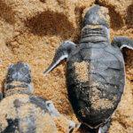 Turtle Hatching